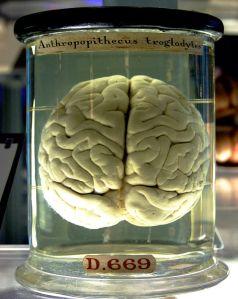 800px-Chimp_Brain_in_a_jar